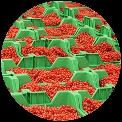 Coloured bessen de keten uitrusten